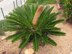 Cycas du Japon, Sagou du Japon, Sagoutier, Palmier de la paix, Cycas revoluta