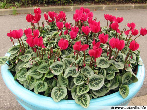 Cyclamen de Perse, Cyclamen des fleuristes, Cyclamen persicum