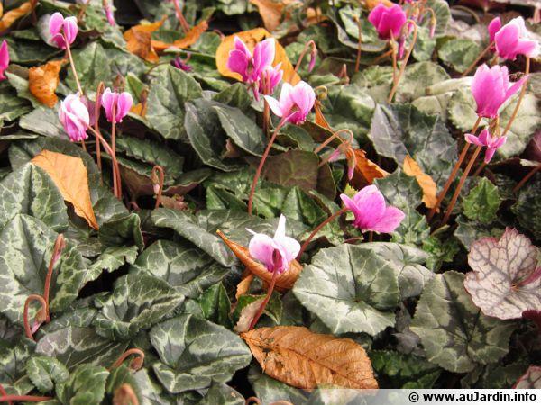 Cyclamen de Naples, Cyclamen à feuilles de lierre, Pain-de-pourceau, Cyclamen hederifolium