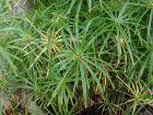 Papyrus à feuilles alternes, Souchet à feuilles alternes, Plante ombrelle, Cyperus involucratus