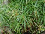 Papyrus � feuilles alternes, Souchet � feuilles alternes, Plante ombrelle, Cyperus involucratus