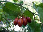 Tomate en arbre, Tamarillo, Solanum betaceum
