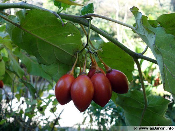 Tomate en arbre, Tamarillo, Solanum betaceum, Cyphomandra betacea
