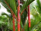 Palmier à tronc rouge, Cyrtostachys renda