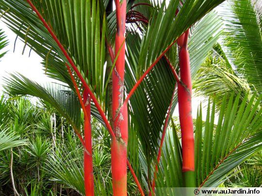 palmier tronc rouge cyrtostachys renda. Black Bedroom Furniture Sets. Home Design Ideas