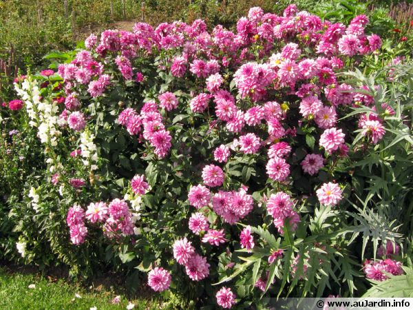 Les bulbes de dahlias devront être déterré à l'automne