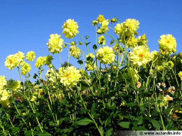 Un massif de dahlias aux fleurs jaunes