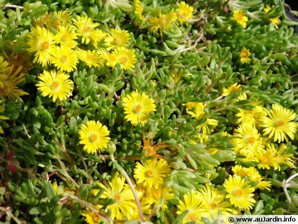 Fico de vivace jaune delosperma lineare conseils de culture for Plante grasse exterieur vivace