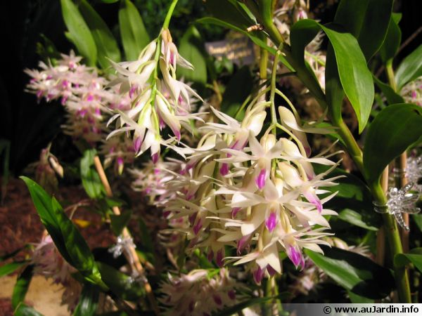 Orchidée bambou, Dendrobium amethystoglossum