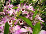 Orchidée bambou, Dendrobium nobilé, Dendrobium nobile