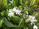 Deutzie du Sichuan, Deutzia remontant, Deutzia setchuenensis var. corymbiflora
