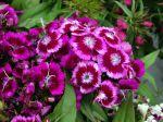 Oeillet du po�te, Dianthus barbatus