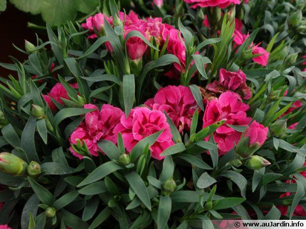 Oeillet giroflée, Oeillet des fleuristes, Oeillet commun, Dianthus caryophyllus