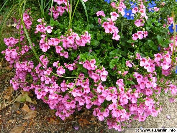Diascia barbarae 'Flying Color Trailing Antique Rose'