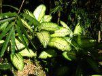 Dieffenbachia seguine 'Tropic Snow'