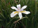 Dietes à grandes fleurs, Iris d'Afrique du sud, Dietes grandiflora