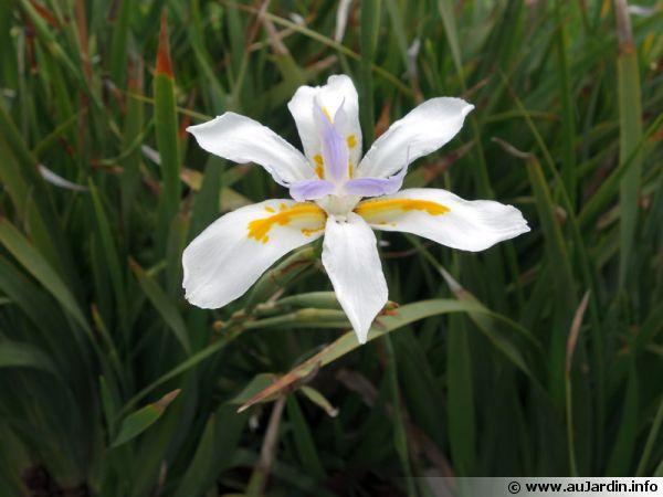 Dietes A Grandes Fleurs Iris D Afrique Du Sud Dietes Grandiflora