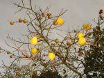 Kakis, les fruits du plaqueminier du Japon