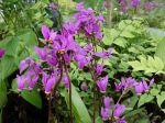 Fleur de la Gyroselle de Virginie