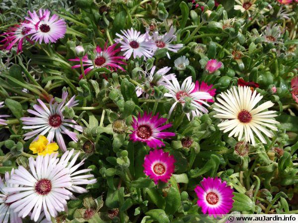 planter un ficoide