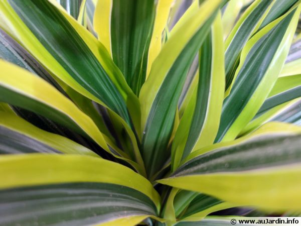 Dragonnier Lemon Lime, Dracaena fragans 'Lemon Lime'