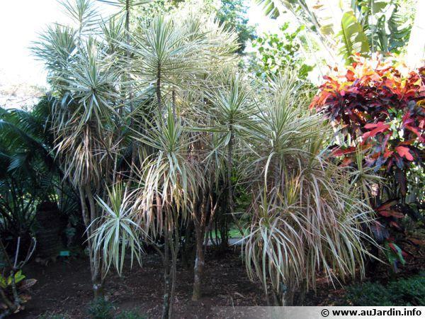 Dragonnier de madagascar dracaena marginata conseils de for Plante 150 maladies madagascar
