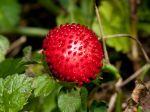 Fraisier des Indes, Fraisier de Duchesne, Faux-fraisier, Duchesnea indica