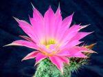 Cactus hérisson, Echinocereus chisoensis
