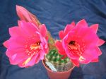 Cactus oursin, Echinopsis mamilosa var. kermesina