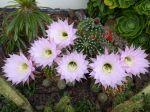 Boule de Moïse, Cactus oursin, Echinopsis oxygona