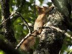 Ecureuil d'Eurasie, écureuil roux, Sciurus vulgaris