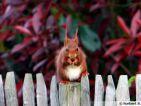 Écureuil roux, Sciurus vulgaris