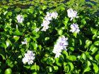 Jacinthe d'eau, Camalote, Eichhornia Crassipes