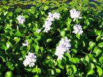 Jacinthe d'eau, Eichhornia Crassipes