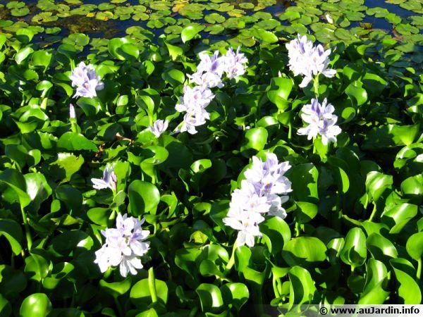 La jacinthe d'eau peut devenir envahissante au bassin...