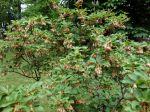 Andromède campanulé, Enkianthe à fleurs de campanule, Enkianthus campanulatus