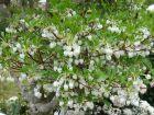 Enkianthus blanc, Enkianthus perulatus