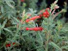 Fuchsia de Californie, Epilobium canum