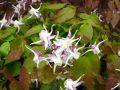 Fleur des Elfes, Epimedium grandiflorum