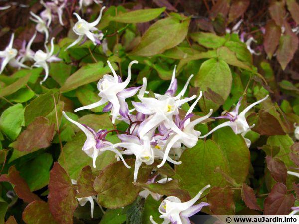 Fleur des Elfes, Epimedium grandiflorum 'Album'