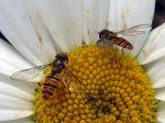 Les diptères, mouches, moustiques