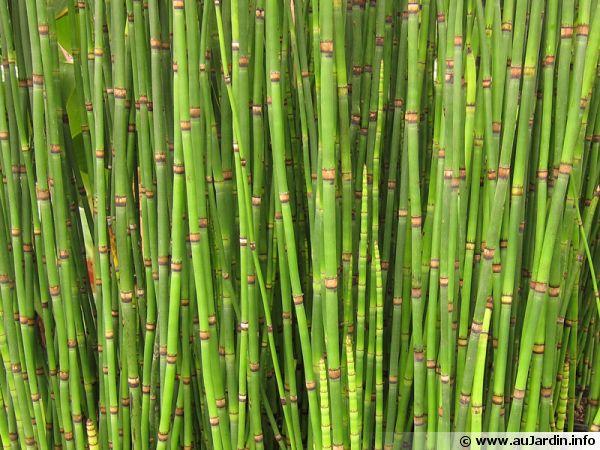 Pr le d 39 hiver pr le de l 39 himalaya pr le g ante for Plantes japonaises