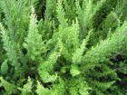 Bruyère blanche, Bruyère en arbre, Erica arborea