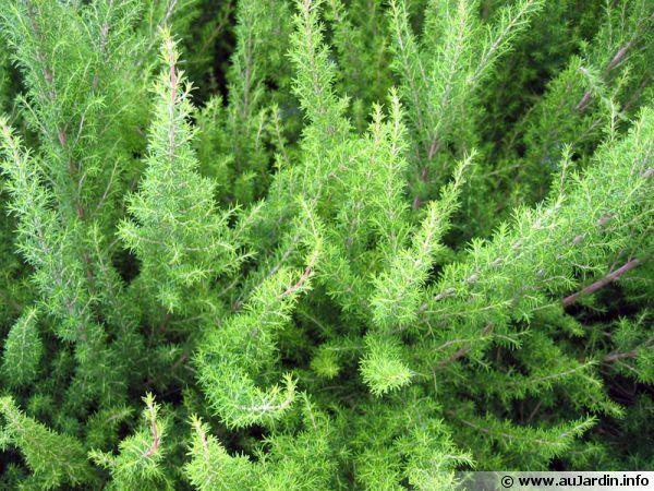 bruy u00e8re blanche  bruy u00e8re en arbre  erica arborea   planter