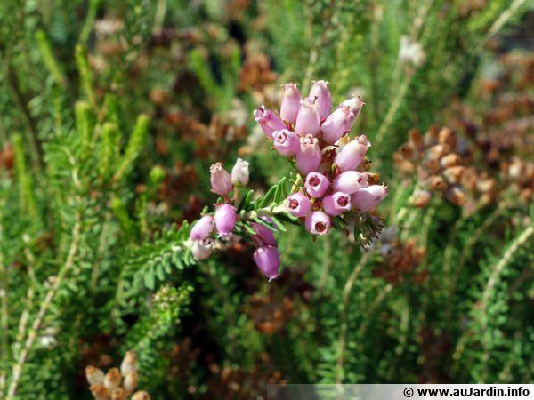 Bruyère à nombreuses fleurs, Bruyère multiflore, Erica multiflora
