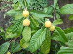 N�flier du Japon (N�fle du Japon, Bibace), Bibacier, Eriobotrya japonica