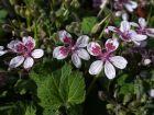 Érodium à fleur de pélargonium, Bec de grue, Erodium perlargonifolium