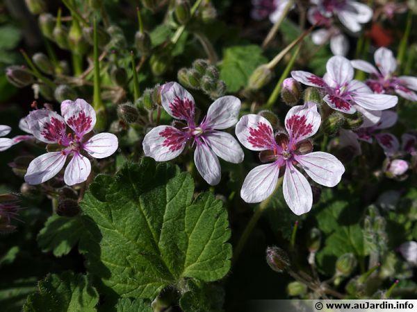 Bec de grue, Érodium à fleur de pélargonium, Erodium perlargonifolium