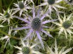 Panicaut Big Blue, Chardon Big Blue, Eryngium x zabelii 'Big Blue'