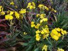 Giroflée arbustive, Giroflée vivace, Erysinum linifolium